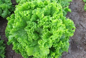 Семена салата типа Батавия (листовой)