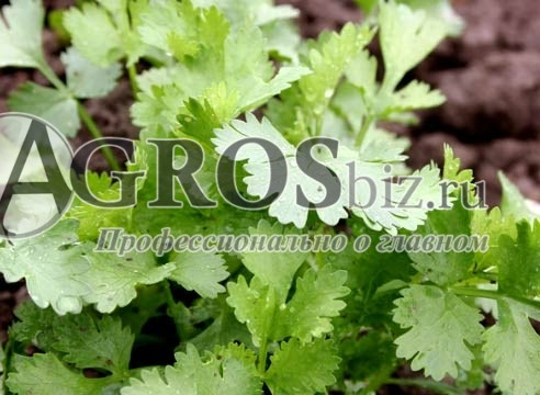 Семена кориандра Марино 100 г