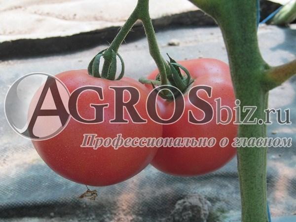 Семена томата Фенда F1 250 шт