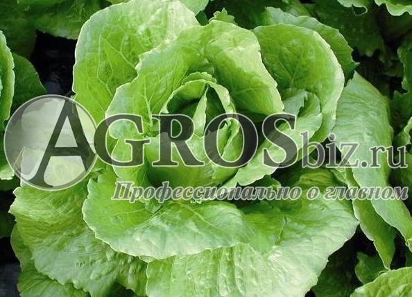 Семена салата Бацио  5000 шт (драже) - фото 8942