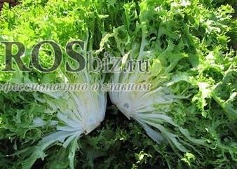 Семена эндивия Бекеле 5000 шт - фото 8954