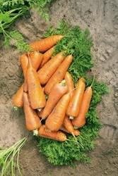 Семена моркови Кантербюри F1 500 000 шт калибр 1,6-1,8 - фото 8960