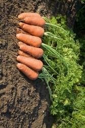 Семена моркови Купар F1 500 000 шт калибр 1,6-1,8 - фото 9068
