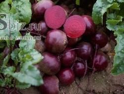 Семена свеклы Субето F1 50 000 шт - фото 9080
