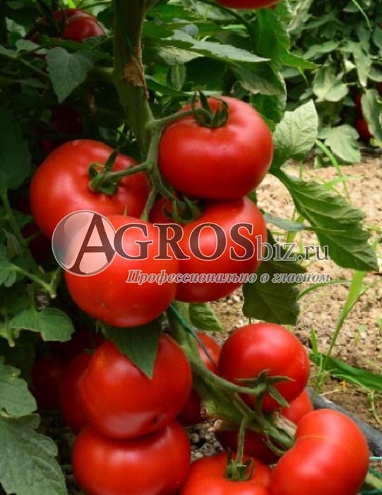 Семена томата Гравитет F1 500 шт - фото 9347