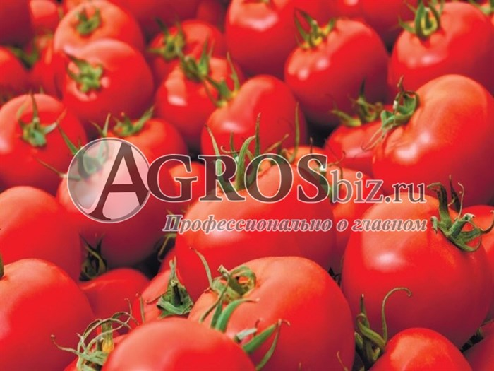 Семена томата ГС 12 F1 1000шт - фото 9374