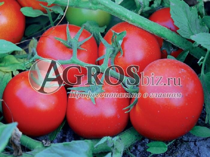 Семена томата Сагатан F1 1000 шт - фото 9378