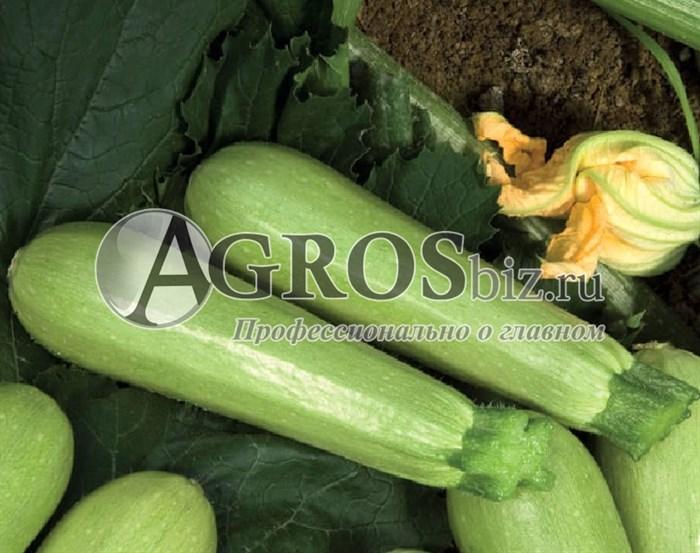 Семена кабачка Джетта F1 1000 шт - фото 9391