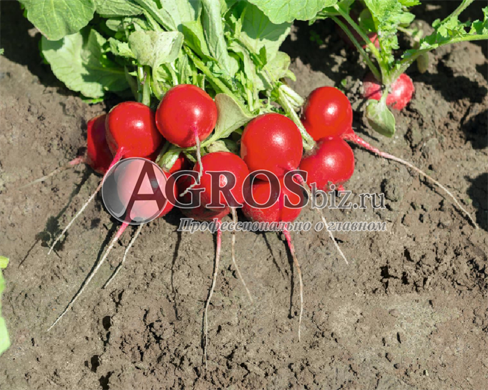 Семена редиса Роксана F1 5 000 шт (калибр. 2,75-3,00 мм) - фото 9438