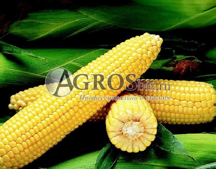 Семена кукурузы Бостон F1 1 кг - фото 9473
