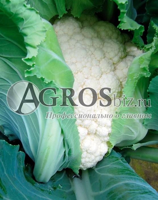 Семена цветной капусты Телерджи F1 2500 шт - фото 9606