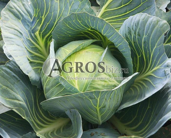 Семена капусты Агрессор F1 2500шт - фото 9615