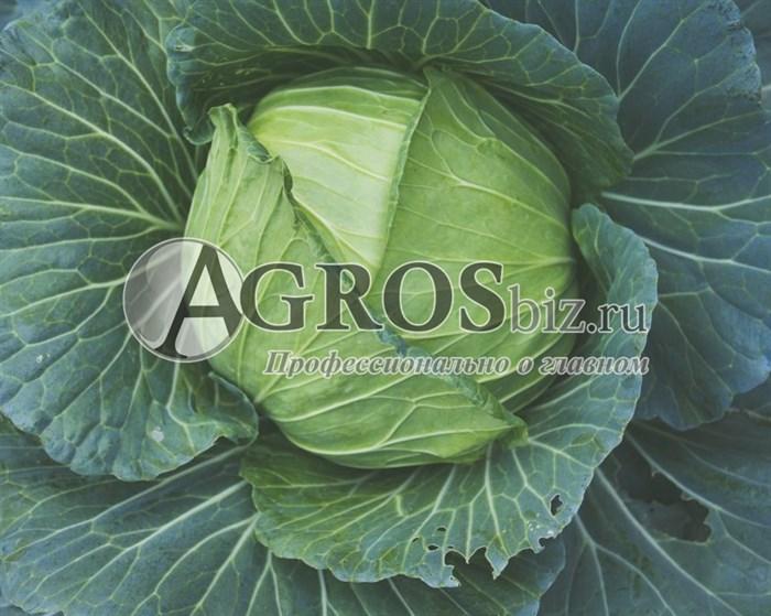Купить семена капусты Пруктор F1 2500шт - фото 9619
