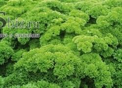 Семена петрушки кудрявой Петра 50 г