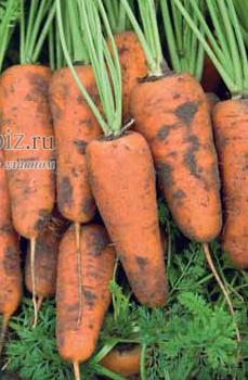 Семена моркови Каскад F1 500 000 шт калибр 1,6-1,8