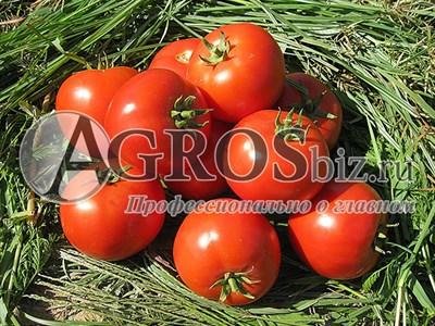 Семена томата Бехрам F1 1000 шт