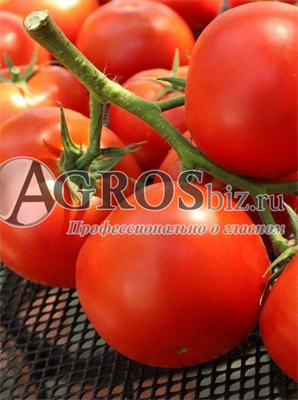 Семена томата Фантастина F1 500 шт