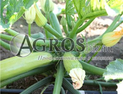 Семена кабачка Аделия F1 500 шт