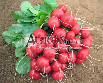 Семена редиса Ролекс F1 5 000 шт (калибр. 2,75-3,00 мм)