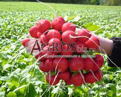 Семена редиса Розетта F1 5 000 шт (калибр. 2,75-3,00 мм)