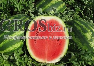 Семена арбуза Монтана F1 1000 шт