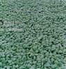 Семена шпината Спейс 50 000 шт
