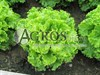 Семена салата Гранд Рапидс Перл Джем 5 г (5000 шт) - фото 8054