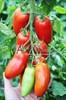 Семена томата Поззано F1 250 шт - фото 9163