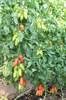 Семена томата Поззано F1 250 шт - фото 9164