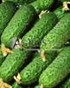 Семена огурца Пасалимо F1 500 шт - фото 9346
