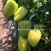 Семена перца Иветта F1 500 шт - фото 9394