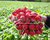Семена редиса Розетта F1 50 000 шт (калибр. 2,75-3,00 мм) - фото 9436