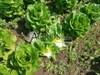 Семена салата Бацио  5000 шт (драже) - фото 9492