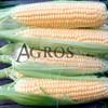 Семена кукурузы Минт  F1 5000 шт - фото 9532