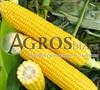 Семена кукурузы Оватонна  F1 5000 шт - фото 9534