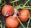 Семена тыквы Оранж Саммер F1 500 шт - фото 9660