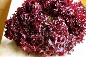 Семена салата типа Лолло Росса (красный кучерявый)