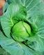 Семена капусты белокочанной ранней