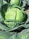 Семена капусты белокочанной средней