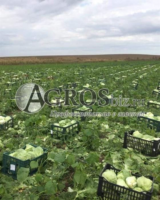 Семена салата Глендана 5000 шт (драже) - фото 10023