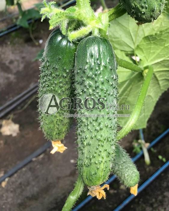 Семена огурца Туми F1 500 шт - фото 10036