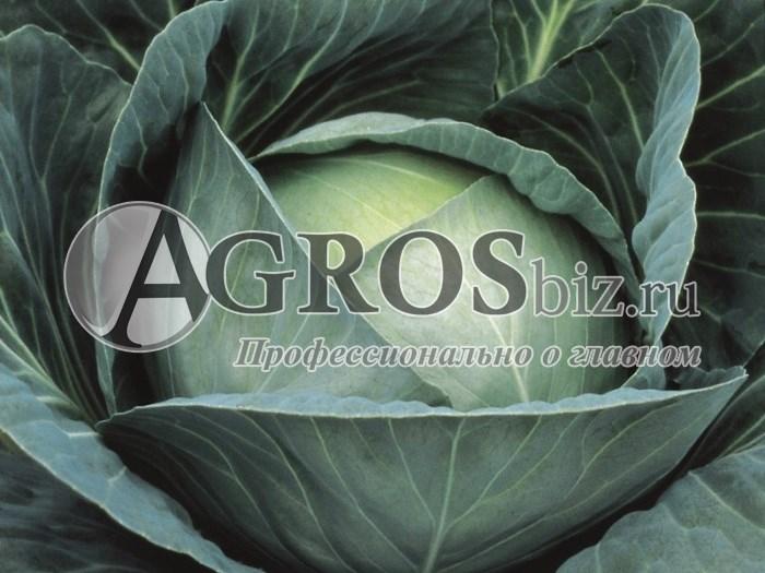 Семена капусты Профессор F1 2500 шт - фото 10072