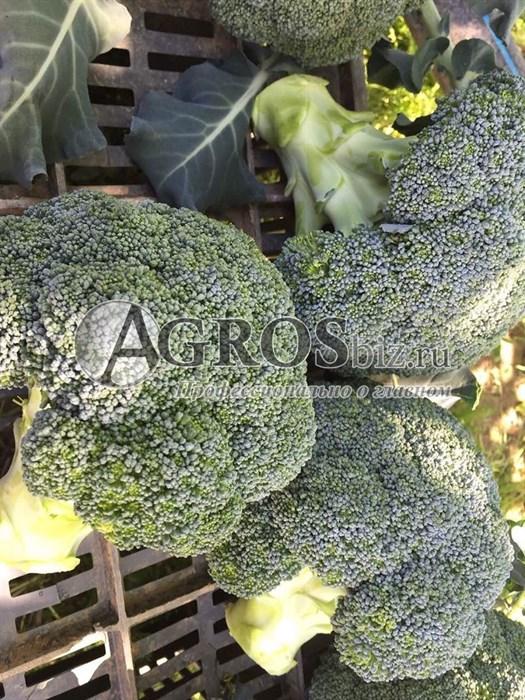 Семена капусты брокколи Корато F1 2500шт - фото 10075