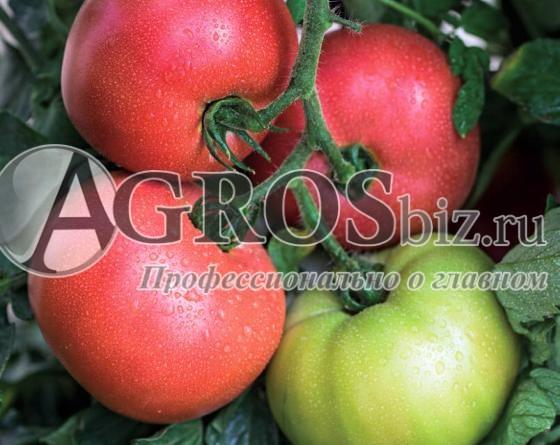 Семена томата Донателло F1 (VP-2)  250 шт - фото 10079