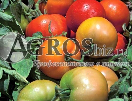 Семена томата Трибека F1 1000 шт - фото 10080