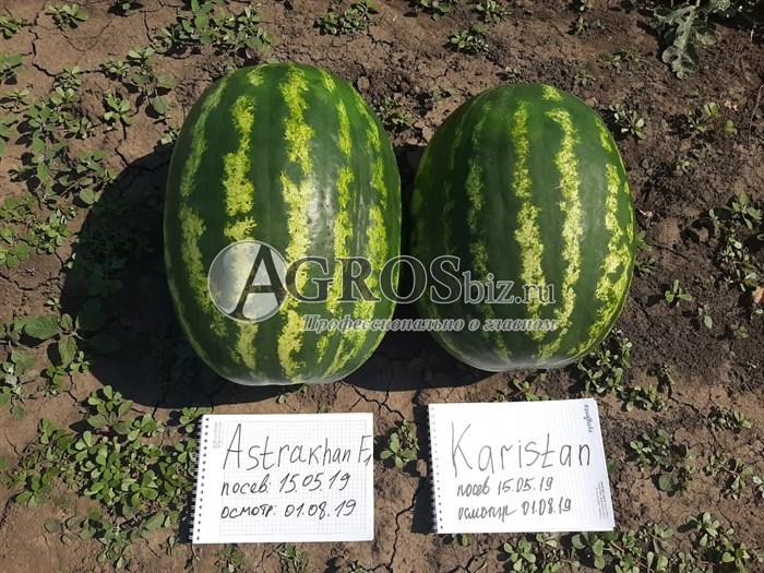 Семена арбуза Астрахан F1 1000 шт - фото 10115