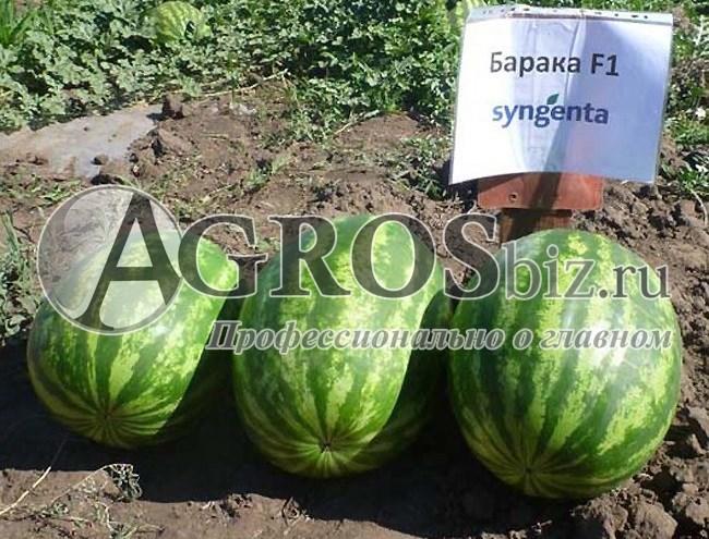 Семена арбуза Барака F1 1000 шт - фото 10128