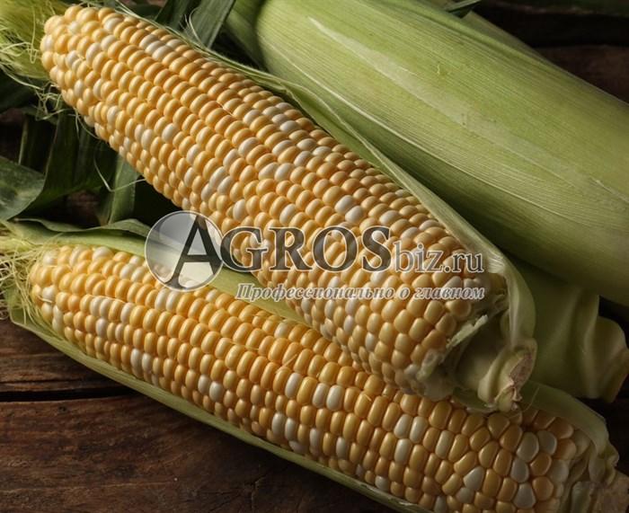 Семена кукурузы Ракель F1 5000 шт - фото 10132