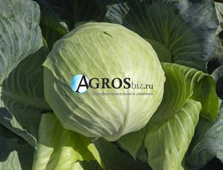 Семена капусты Саксесор F1 2500 шт - фото 10568