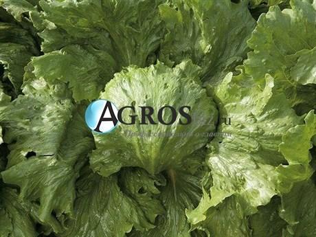Семена салата Фарито 5000 шт (драже) - фото 10595